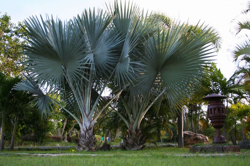 6 Cabbage Palm Florida 4 to 6 inches